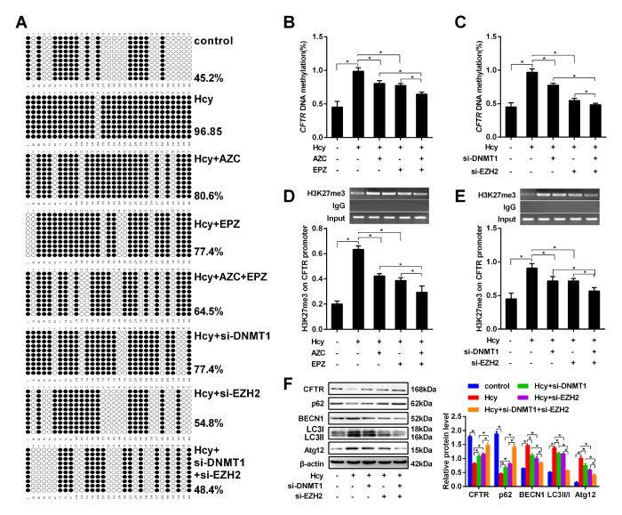 Interaction between DNA methylation and histone methylation in CFTR promoter. Human hepatocytes HL-7702 were treated with Hcy or infected with adenovirus vector (si-DNMT1 and si-EZH2) for 24 h. a – c The DNA methylation of CFTR was detected by BSP after the hepatocytes were treated with 5-azacytidine, an inhibitor of DNA methyltransferase, and EPZ005687 (EPZ), an inhibitor of histone lysine methyltransferase, or infected with adenovirus vector EZH2 RNAi (si-EZH2) and adenovirus vector DNMT1 RNAi (si-DNMT1). d , e ChIP-PCR were used to detect the H3K27me3 levels in the CFTR promoter in hepatocytes treated with 5-azacytidine, an inhibitor of DNA methyltransferase, and EPZ005687 (EPZ), an inhibitor of histone lysine methyltransferase or infected with si-EZH2 and si-DNMT1. f The protein levels of CFTR and autophagy-related protein factors p62, BECN1, LC3, and Atg12 were detected by western blot in hepatocytes treated with si-EZH2 and si-DNMT1. Mean ± s.d. of three experiments performed in triplicate. * P