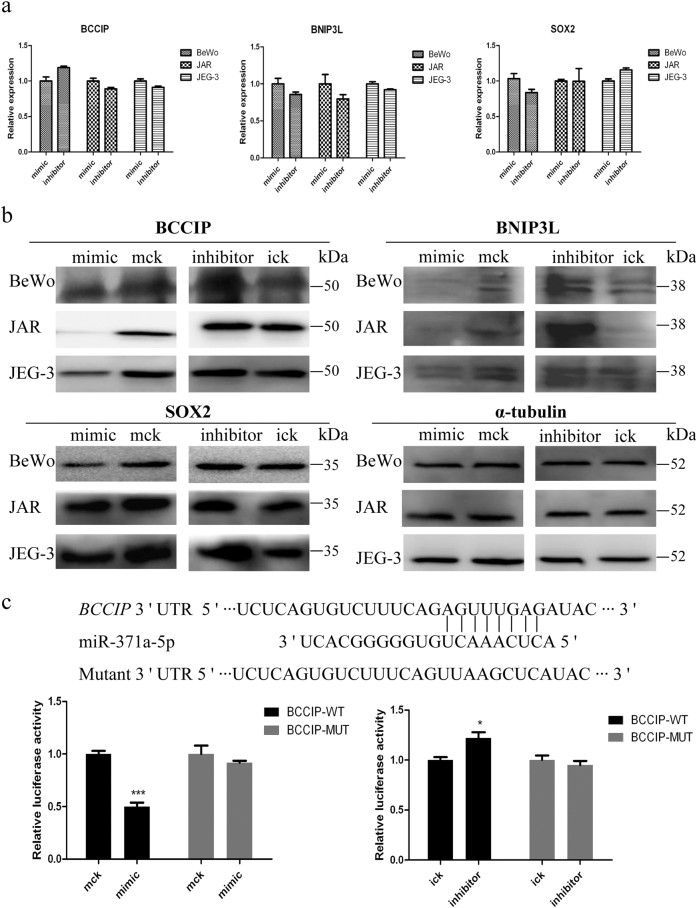 Validation of miR-371a-5p potential target genes BCCIP , BNIP3L , and SOX2 a qRT-PCR quantification of the mRNA levels of BCCIP , BNIP3L , and SOX2 genes. BeWo, JAR, and JEG-3 cells were transfected with miR-371a-5p mimic/inhibitor or control mimic/inhibitor. Cells were harvested at 36 h post transfection, and α-tubulin was used as the endogenous reference gene. b Western blotting analysis of BCCIP, BNIP3L, and SOX2. Cells were harvested at 48 h post transfection, and α-tubulin was used as the endogenous control. c Direct interaction of miR-371a-5p and BCCIP . Upper: bioinformatic predicted miR-371a-5p targeting site in 3′-UTR of BCCIP . Lower: luciferase activity assay. At 48 h post co-transfection with BCCIP–WT or BCCIP–MUT and miR-371a-5p mimic/inhibitor or control mimic/inhibitor, luciferase activities were measured in HTR-8/SVneo cells. Renilla luciferase activities in corresponding controls were normalized to 1. Mck stands for control mimic and ick stands for control inhibitor. N = 9, * P