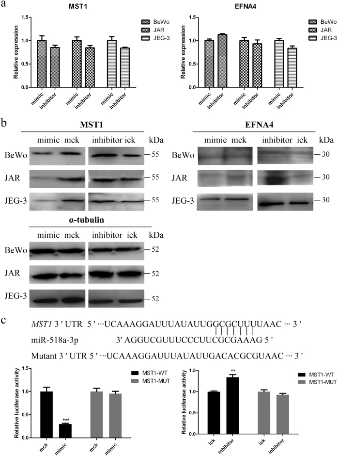 Validation of miR-518a-3p potential target genes MST1 and EFNA4 a qRT-PCR quantification of the mRNA level of MST1 and EFNA4 genes. BeWo, JAR, and JEG-3 cells were transfected with miR-518a-3p mimic/inhibitor or controls. Cells were harvested at 36 h post transfection, and α-tubulin served as the endogenous reference gene. b Western blotting analysis of MST1 and EFNA4. Cells were harvested at 48 h post transfection, and α-tubulin was taken as the endogenous control. c Direct interaction of miR-518a-3p and MST1 . Upper: bioinformatic predicted miR-518a-3p targeting site in 3′-UTR of MST1 . Lower: luciferase activity assay. At 48 h post co-transfection with MST1-WT or MST1-MUT and miR-518a-3p mimic/inhibitor or control mimic/inhibitor, luciferase activities were measured in HTR-8/SVneo cells. Renilla luciferase activities in corresponding controls were normalized to 1. Mck stands for control mimic and ick stands for control inhibitor. N = 9, ** P