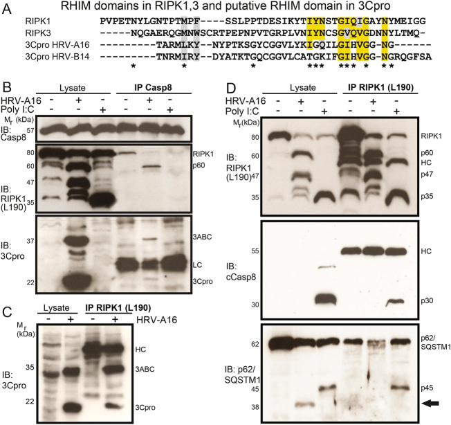 HRV-A16 infection disrupts an RHIM domain-containing RIPK1-cCasp8-p62/SQSTM1 signaling complex, and leads to complex formation of 60 kDa RIPK1-Caspase-8 and 3ABC/3Cpro. a Comparison of the RHIM domain from human RIPK1, RIPK3, 3Cpro from HRV-A16/B14 by sequence alignment. Yellow indicates amino acid identities, gray similarities, * denotes conserved amino acids in the RHIM domains of RIPK1/3. b Pro-caspase-8 immuno-precipitations, and western blots against Pro-caspase-8, RIPK1 (amino acids 190) and 3Cpro from lysates of HeLa cells infected with HRV-A16 (MOI 1, 15 h), or poly I:C (5 µg/ml)-treated cells, and uninfected samples. Input lysates and immuno-precipitations are shown. LC denotes light chain. c RIPK1 immuno-precipitations (leucine 190) and western blot against 3Cpro from HRV-A16-infected HeLa cells (MOI 1, 15 h) or uninfected cells. HC denotes heavy chain. d RIPK1 immuno-precipitations (leucine 190) and western blots against RIPK1, cCasp8, and p62/SQSTM1 from lysates of HeLa cells infected with HRV-A16 (MOI 1, 15 h) or transfected with poly I:C (5 µg/ml). Input lysates and immuno-precipitations are shown. HC denotes heavy chain, IP immuno-precipitation. Arrow highlights HRV-A16-specific p62/SQSTM1 processing.