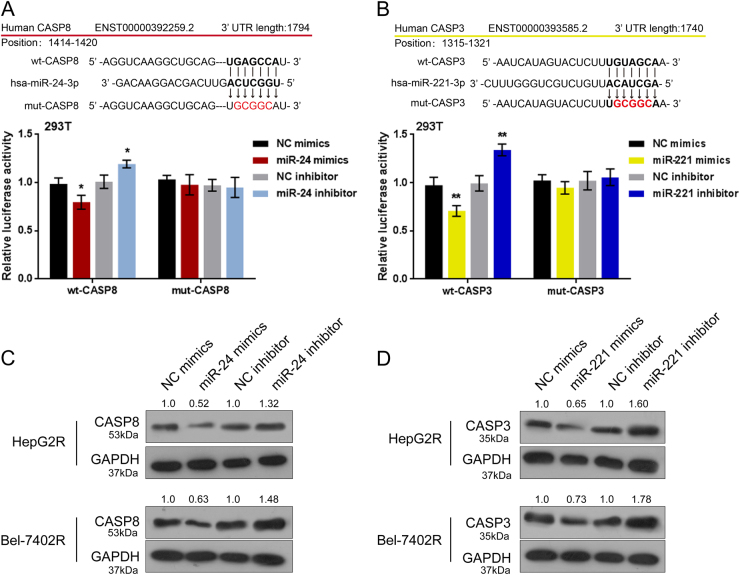MiR-24/miR-221 negatively regulate Caspase 8/3 through direct targeting a–b  Wild-type (wt-) and mutated-type (mut-) luciferase reporter gene vectors (wt-caspase 3 named wt-CASP3, wt-caspase 8 named wt-CASP8, mut-caspase 3 named mut-CASP3, mut-caspase 8 named mut-CASP8) were constructed. Mut-CASP3 contains a 5bp mutation in the predicted miR-221 binding site; mut-CASP8 contains a 5bp mutation in the predicted miR-24 binding site. The above vectors were co-transfected into HEK293 cells with miR-24/miR-221 mimics or inhibitor; the luciferase activity was determined.  c–d  The mimics or inhibitor of miR-24 and miR-221 was transfected into HepG2R and Bel-7402R cells, respectively; the protein levels of caspase 3 or caspase 8 were determined using Western blot assays. The data are presented as mean±SD of three independent experiments. * P