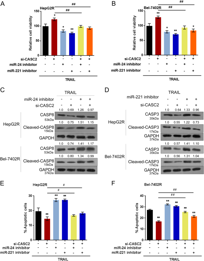 CASC2 modulates TRAIL resistance through miR-24/miR-221 a-b  HepG2R and Bel-7402R cells were co-transfected with si-CASC2 and miR-24 inhibitor or miR-221 inhibitor upon TRAIL treatment; the cell viability was determined using MTT assays.  c-d  The protein levels of caspase 8 and cleaved-caspase 8 in si-CASC2 and miR-24 inhibitor co-transfected cells, and the protein levels of caspase 3 and cleaved-caspase 3 in si-CASC2 and miR-221 inhibitor co-transfected cells were determined using Western blot assays.  e-f  The cell apoptosis was determined using flow cytometer assays. The data are presented as mean±SD of three independent experiments. * P