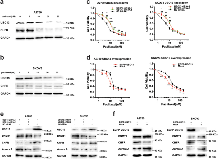 Paclitaxel induces UBC13 down-regulation, and UBC13 modulates the paclitaxel sensitivity through the DNMT1, CHFR, and Aurora A pathway a A2780 and b SKOV3 cells were treated with 5, 10, 20, and 30 nM paclitaxel for 24 h. Western blotting was performed with the indicated antibodies. Cell viability assays in A2780 and SKOV3 cells with c UBC13-knockdown and d UBC13-overexpression that were treated with paclitaxel at the indicated concentrations. Results are shown as means ± SEM for at least three separate experiments (* P