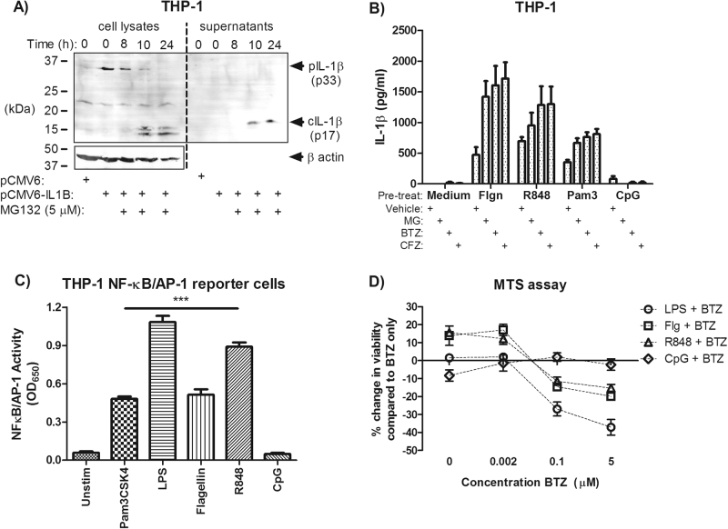 IL-1β secretion can occur with priming of various TLRs and correlates with cell death. a THP-1 cells transiently transfected with pro-IL-1β-expressing plasmid were treated with 5 μM MG-132. Lysates and supernatants were harvested at 0, 8, 10 and 24 h post exposure and blotted for IL-1β processing (data are representative of n = 3 experiments). b THP-1 cells were treated with 500 ng/ml flagellin, 100 ng/ml Pam3CSK4, 2.5 µg/ml R848 or 5 μM CpG DNA 2 h prior to proteasome inhibitor treatment for 24 h ( n = 3). c THP-1 X-Blue (NF-κB/AP-1 reporter) cells were examined for the ability of TLR ligands to activate NF-κB/AP-1 activity over 24 h ( n = 3–5). d LPS (10 ng/ml), flagellin, R848 and CpG-treated THP-1 cells (2 h) were exposed to 2 nM, 100 nM or 5 μM bortezomib and checked for viability after 24 h via MTS assay ( n = 3). d Data were analysed using one-way or two-way ANOVA with Bonferroni post-test. *** indicates P