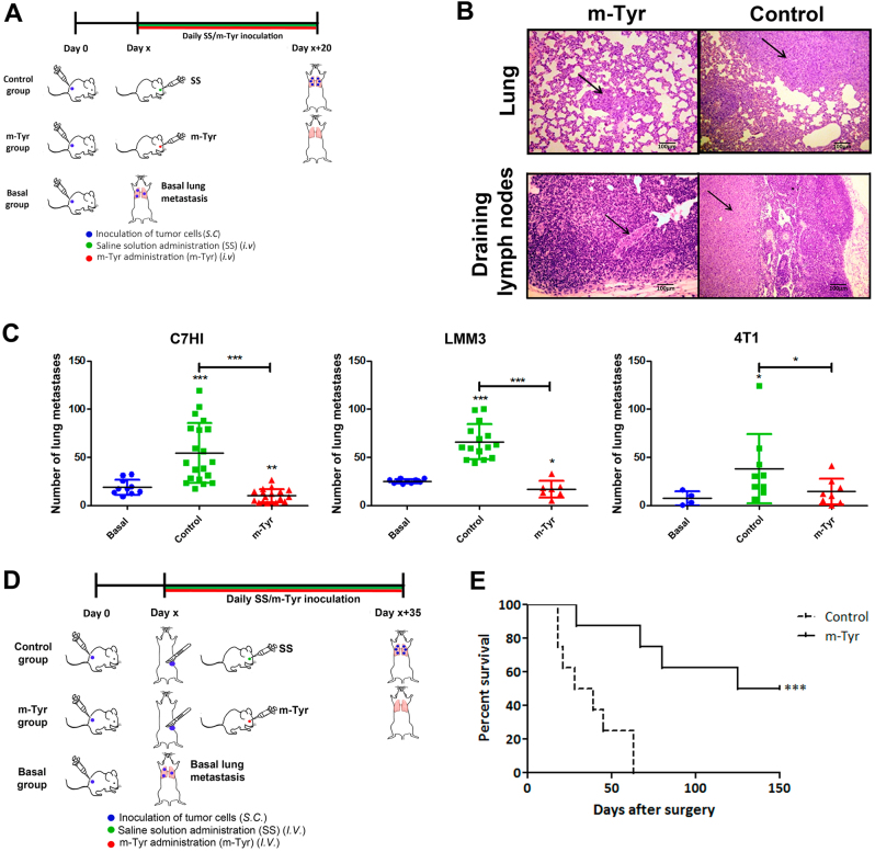m -Tyr inhibits spontaneous metastasis a Schematic representation of the in vivo assay carried out to assess the role of m-Tyr in spontaneous metastasis using three metastatic murine mammary carcinomas C7HI, LMM3, and 4T1. For C7HI tumors, BALB/c mice were s.c. injected with 2 × 10 5 cells and 40 days later animals received a daily i.v. injection of m -Tyr (67 mg/kg/day) or saline for the following 20 consecutive days. A third group was killed at day 40 to evaluate the number of metastases at the onset of treatment (basal). At day 60, all treated and control mice were killed and metastases counted. For LMM3 tumors and 4T1 tumors, BALB/c mice were s.c. injected with 2 × 10 5 cells and 25 days later animals received a daily i.v. injection of m -Tyr or saline as previously described. A third group was killed at day 25 to evaluate the number of metastases at the onset of treatment (basal). At day 45, all treated and control mice were EUTHANIZE and metastases counted. All experiments were done in triplicates. b Representative H E staining of pulmonary and draining lymph nodes metastasis of mice bearing s.c. LMM3 tumors (×25, Scale bar = 100 μm). Arrows point sites of tumor cells in the same field. c Pulmonary C7HI, LMM3, or 4T1 metastases for m -Tyr treatment. d Schematic representation of the in vivo assay carried out to assess the role of m -Tyr effect on the survival of LMM3-excised mice exhibiting established lung metastases at the time of surgery. BALB/c mice were s.c. inoculated with 2 × 10 5 LMM3 tumor cells. Twenty-five days later, tumor-bearing mice were surgically operated to remove the tumor and the remaining mice were killed to evaluate the number of lung metastases at the time of surgery. Tumor-excised mice were divided into two groups: m -Tyr (daily i.v. injection of m -Tyr, 67 mg/kg, for consecutive 35 days) and control group (daily i.v. injection of saline for consecutive 35 days). e Kaplan–Meier estimator for survival indicating the percentage of survivo