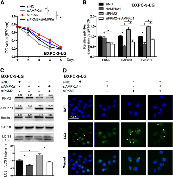Knockdown of AMPKα1 expression reversed the effects of reduced PKM2 on BXPC-3-LG cells a The survival of BXPC-3-LG was tested after transfected with siPKM2, siAMPKα1, and co-transfected with both of them for 5 days. b The expression of PKM2, AMPKα1, and Beclin1 was tested by qRT-PCR. c PKM2, AMPKα1, and autophagy-related proteins were represented by western blot (upper); the histogram showed the intensity ratio of LC3II/LC3I (lower). d Immunofluorescence was performed to test the autophagosomes in cells with the antibody of <t>LC3.</t> The arrow indicates the autophagosomes (* P