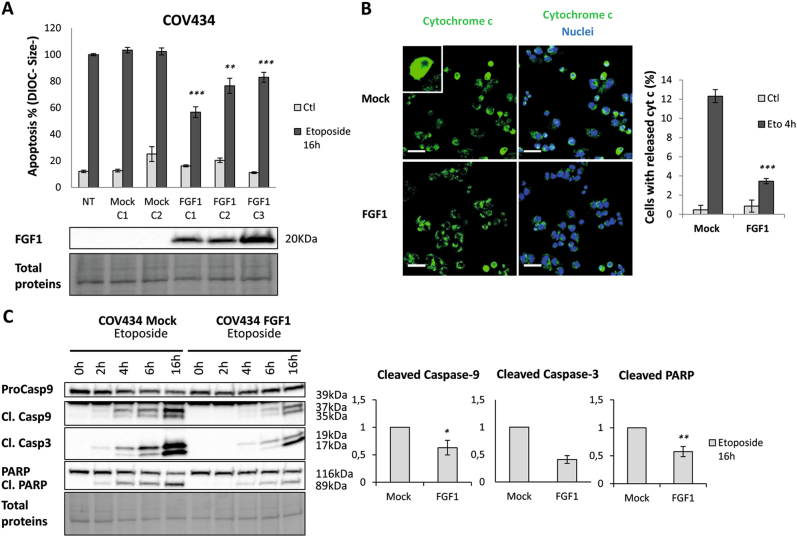 FGF1 overexpression protects COV434 cells from etoposide-induced apoptosis. a Upper panel: Average flow cytometry quantification of apoptotic cells characterized by their low DIOC staining and cell condensation (DIOC - , Size - ) ± SEM for 3 experiments done in triplicate. Non-transfected COV434 (NT), two COV434-Mock clonal cell lines and three COV434-FGF1 clonal cell lines were treated with etoposide (25 µg/mL) for 16 h, or not treated (Ctl), The t-tests compare to NT Eto. Lower panel: FGF1 levels in non-transfected, mock and FGF1 overexpressing clones using western blot analysis. Total proteins are visualized with the Biorad stain free system. b Immunofluorescence study for cytochrome c release. COV434-Mock C1 and -FGF1 C1 cells were treated with 25 µg/mL etoposide for 4 h. Cells were stained with an anti-cytochrome c antibody (green) and TO-PRO-3 (blue) to visualize nuclei (left panels). Scale bar represents 40 µm. The histogram presents the average percentages ± SEM for 3 independent experiments of cells exhibiting cytochrome c release (right panel). The t-test compares to Mock cells similarly treated. c Upper panel: Western blot analysis of total proteins for procaspase-9, cleaved caspase-9 and −3 and PARP levels. COV434-Mock and -FGF1 cells were treated or not (0 h) with 25 µg/mL etoposide for 2, 4, 6, or 16 h. Lower panel: histograms present the average fold-change decrease of cleaved caspase-9, cleaved caspase-3 and cleaved PARP in COV434-FGF1 cells ± SEM from pooled results of three FGF1 overexpressing clones ( n = 8). Two-tailed unpaired t-tests results are shown as * for P ≤ 0.05, ** for P ≤ 0.01 and *** for P ≤ 0.001