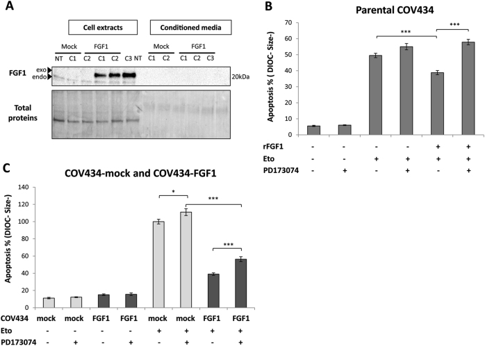 Both FGFR-dependent and FGFR-independent pathways are involved in FGF1 anti-apoptotic activity. a Western blot analysis for FGF1 levels in total extracts and conditioned media of non-transfected COV434 (NT), COV434-Mock and COV434-FGF1 cells. Endogenous FGF1 is detected in all total extracts whereas exogenous FGF1-V5-His is seen only in FGF1-overexpressing cells as expected. b Average apoptosis rates ± SEM for 3 experiments done in triplicate measured by flow cytometry of COV434-Mock cells. Cells were pretreated or not with the FGFR1/3 inhibitor PD173074 (25 nM for one hour), followed or not by a treatment with 50 ng/mL of recombinant FGF1 (rFGF1) supplemented with 10 µg/mL heparin for 24 h. On the next day, these treatments were renewed adding or not etoposide for 16 h. c Average apoptosis rates ± SEM for 3 experiments done in triplicate measured by flow cytometry of COV434-Mock and COV434-FGF1 cells pretreated or not with 25 nM PD173074 for 24 h, and treated or not with etoposide (25 µg/mL for 16 h). Two-tailed t -tests are indicated by * for P ≤ 0.05, ** for P ≤ 0.01, and *** for P ≤ 0.001