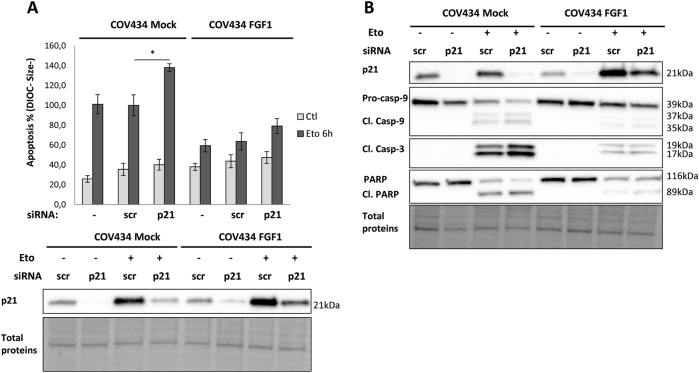 p21 anti-apoptotic activities are not necessary for FGF1-induced resistance to etoposide. a COV434 Mock and COV434 FGF1 cells were transfected or not with scramble (scr) or p21 siRNA. Upper panel: average apoptosis rates ± SEM for 2 experiments done in duplicate were measured by flow cytometry in cells treated with etoposide for 6 h, or not treated (Ctl). Lower panel: Western blot analysis for p21 protein levels in COV434 Mock and COV434 FGF1 cells transfected with scr siRNA or p21 siRNA. b Western blot analysis of total proteins for p21 and for procaspase-9, cleaved caspase-9, and cleaved caspase-3, and PARP levels. COV434 Mock and FGF1 cells transfected with scr or p21 siRNA were treated or not with etoposide for 16 h. One experiment representative of 3 independent experiments is shown. * P ≤ 0.05, ** P ≤ 0.01, *** P ≤ 0.001