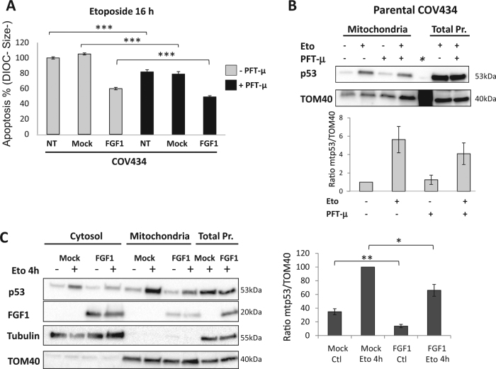FGF1 regulates p53-mitochondrial localization. a Average apoptosis rates ± SEM for 3 experiments done in triplicate were measured by flow cytometry in non-transfected (NT), mock and FGF1-overexpressing COV434 cells treated with etoposide for 16 h. These cells were pretreated or not with the p53 mitochondrial localization inhibitor pifithrin-mu (PFT-µ, 10 µM for 90 min). b Non-transfected COV434 cells were pretreated or not with PFT-µ (10 µM for 90 min) prior to etoposide treatment (25 µg/mL for 2h30). Mitochondrial localization of p53 was determined by western blot analysis of enriched mitochondrial fractions (upper panel). Quantification of mitochondrial p53 normalized to TOM40 for four experiments (lower panel). * Molecular weight lane. c Cytosolic, mitochondrial and total proteins of COV434-Mock, and COV434-FGF1 cells, treated or not with etoposide for 4 h, were analyzed for p53 and FGF1 localization by western blot (left panel). Quantification of mitochondrial p53 normalized to TOM40 (right panel). Results are from 6 independent experiments, means ± SEM, two-tailed t -test results are shown by * for P ≤ 0.05, ** for P ≤ 0.01, and *** for P ≤ 0.001