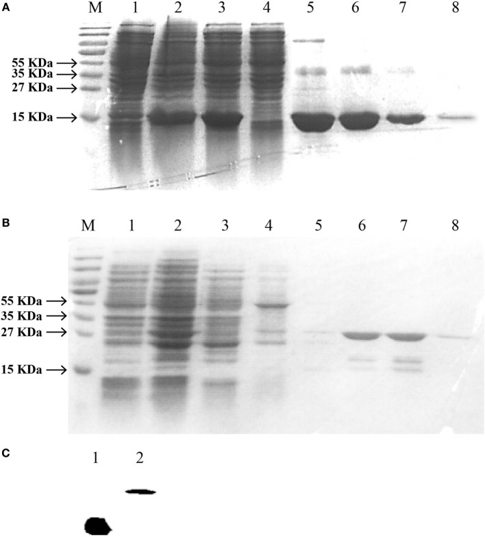 SDS-PAGE and western blotting analysis of Epinephelus coioides interferon gamma (IFNγ). IFNγ1 (A) or IFNγ2 (B) proteins was expressed using the pET22b expression vector. (A) Lane M: protein size marker; Lane 1: the total lysates from non-induced cells; Lane 2: the total lysates from IPTG-induced cells; Lane 3: soluble IFNγ1 protein; Lane 4–7: IFNγ1 protein by washing buffer with different imidazole concentration; Lane 8: purified recombinant protein with a His-tag; (B) Lane M: protein size marker; Lane 1: the total lysates from non-induced cells; Lane 2: the total lysates from IPTG-induced cells; Lane 3: soluble IFNγ2 protein; Lane 4–8: IFNγ2 protein by washing buffer with pH6.3, pH5.9, pH5.4, pH5.0, and pH4.5. (C) Verification of recombinant IFNγ1 and IFNγ2 by Western blot. Lane 1: IFNγ1; Lane 2: IFNγ2; they were analyzed on a 15% SDS-PAGE gel, followed by western blotting analysis using a mAb against the His-tag. The molecular weight of the lane 1 IFNγ1 was the same to that of the lane 8 of Figure 5 A. Similarly, that of lane 2 IFNγ2 was also the same to the lane 8 of Figure 5 B.