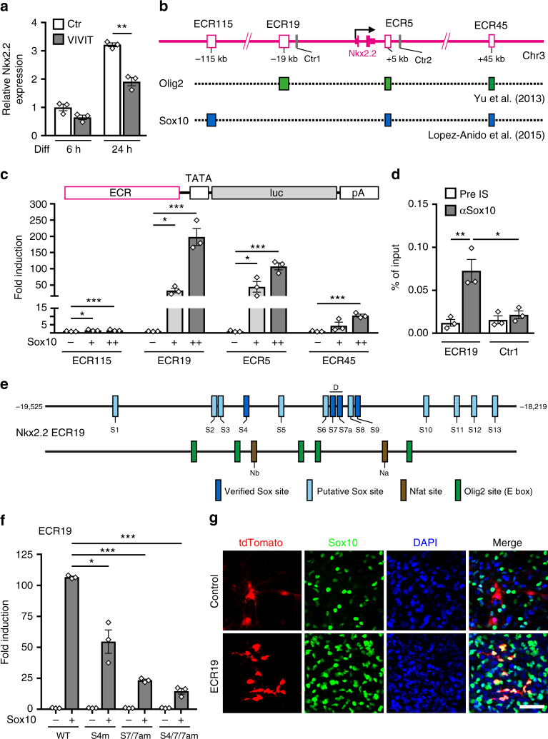 Sox10 activates oligodendroglial Nkx2.2 expression via ECR19. a QrtPCR analysis of Nkx2.2 expression in mouse oligodendroglial cultures after 6 and 24 h differentiation in absence (Ctr, open bars) or presence of 1 µM VIVIT (grey bars) ( n = 3). Nkx2.2 amounts under control conditions after 6 h were set to 1 (values: 1 ± 0.20 for Ctr and 0.65 ± 0.14 for VIVIT after 6 h, 3.21 ± 0.12 for Ctr and 1.92 ± 0.25 for VIVIT after 24 h). b Rat Nkx2.2 locus with exons (solid pink boxes), ChIP-Seq peaks (GEO accession numbers GSE64703 and GSE42447) for Olig2 (green boxes) and Sox10 (blue boxes) in ECRs (open pink boxes) at −115, −19, +5, and +45 kilobases relative to the transcriptional start site (arrow) and ChIP control regions (Ctr1 and Ctr2, grey boxes). c N2a cell transfections with luciferase reporters carrying Nkx2.2 ECRs in absence (−) or presence of low (+, light grey bars) and high Sox10 amounts (++, dark grey bars) ( n = 3). Sox10-dependent fold inductions ± SEM were determined after 48 h with activities in the absence of Sox10 set to 1 (ECR115: 1.6 ± 0.3 at both concentrations; ECR19: 32.9 ± 7.1 and 198.3 ± 26.0; ECR5: 44.6 ± 16.4 and 107.3 ± 10.7; ECR45: 4.5 ± 2.1 and 10.6 ± 0.9). d ChIP on differentiating rat oligodendrocytes after 4 days ( n = 3) using rabbit pre-immune (pre IS, open bars) and anti-Sox10 (αSox10, grey bars) antiserum. Amounts of immunoprecipitated ECR19 and control region (Ctr1) were qPCR-determined and are presented as percent of input (ECR19: 0.012 ± 0.004 for pre IS and 0.073 ± 0.013 for αSox10; Ctr1: 0.016 ± 0.005 for pre IS and 0.021 ± 0.005 for αSox10). e Localization of binding sites for Sox10 (putative, light blue; EMSA-confirmed, dark blue), Nfat (brown) and Olig2 (green) in ECR19. Numbers on left and right correspond to mouse ECR19 positions relative to transcriptional start site. For EMSA and sequences, see Suppl. Fig. 4c, d . f N2a cell transfections with wildtype (WT) or mutant ECR19 luciferase reporters with inactivated Sox10 binding