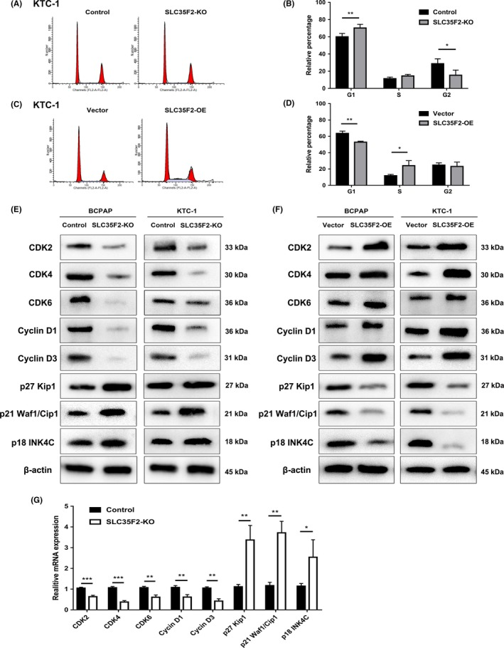 Cyclin‐dependent kinases and cyclins are involved in solute carrier family 35 member F2 ( SLC 35F2) ‐ regulated cell cycle progression. A, Effects of SLC 35F2 knockout on cell cycle by FACS . B, Cell cycle distribution showed that inhibition of SLC 35F2 induced cell cycle arrest at G1 phase. C, Flow cytometry analysis of the cell cycle of SLC 35F2 overexpression and empty vector control cells. D, Ectopic expression of SLC 35F2 promoted G1/S phase transition and increased S‐phase proportion. E, F, Protein levels of CDK 2, CDK 4, CDK 6, Cyclin D1, Cyclin D3, <t>p27</t> <t>Kip1,</t> p21 Waf1/Cip 1 and p18 INK 4C were detected by western blotting in indicated PTC cells. G, Relative mRNA expression levels of some cell cycle related genes analyzed by qPCR in SLC 35F2‐ KO group compared to control KTC ‐1 cells. Data were plotted relative to expression levels in control cells (* P