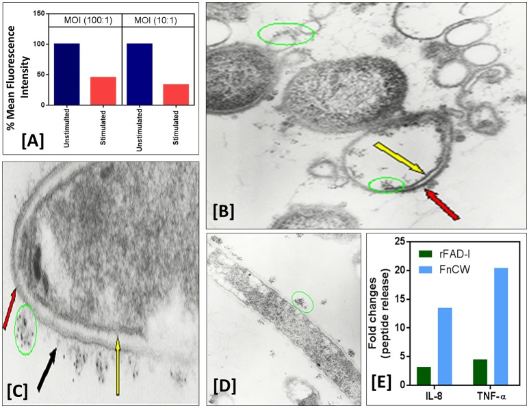 (A) F. nucleatum stimulation of normal human oral epithelial cells (HOECs) confers protection against P. gingivalis invasion. Semi-confluent (80%) monolayers of HOECs were either unchallenged or challenged with F. nucleatum cell wall fraction (FnCW) (10 μg/ml) for approximately 18 hrs. P. gingivalis was then added at a multiplicity of infection (MOI) of 10:1 or 100:1, 90 min, 37°C, 5% CO 2 . After 1 h incubation with gentamycin and metronidazole, cells were harvested and subjected to flow cytometric analysis. Results revealed a 54.3 and 67.2% reduction in P. gingivalis invasion for the 100:1 and 10:1 MOI's respectively, when compared to non F. nucleatum challenged HOECs. (B–D) Immunogold transmission electron microscopy (TEM) of F. nucleatum and P. gingivalis incubated with rhBD-2. Overnight cultures of F. nucleatum (ATCC strain 25586) and P. gingivalis (ATCC strain 33277) (1.6 × 10 9 cells/ml) were incubated with recombinant hBD-2 (rhBD-2) (10 μg/ml), 3 h, 37°C anaerobically, and embedded in 1.5% low gel temperature agarose (Bio-Rad), respectively. Samples were fixed, 10 min at room temperature with 1% formaldehyde and 0.1% glutaraldehyde in 1x HEPES-buffered saline (pH 7.4), followed by washing 3X with 1X phosphate buffered saline (PBS) containing 0.05M glycine to block glutaraldehyde groups remaining on the cell surface. Samples were blocked in PBS with 1% BSA (bovine serum albumin; PBS-BSA), followed by incubation with goat anti-hBD-2 antibody (Cell Sciences, Canton, MA) (1:100) in PBS-BSA, 2 h, room temperature. After washing, samples were incubated, 2 h, in 5 nm gold-conjugated rabbit anti-goat IgG (BB International) (1:30) in PBS-BSA. To stabilize the gold particles, the samples were fixed with glutaraldehyde and post-fixed in 1% osmium tetroxide for 1 h. Samples were then block-stained in 0.5% of aqueous uranyl acetate, dehydrated in ascending concentrations of ethanol and embedded in Epon 812. Ultrathin sections were then stained with 2% uranyl acetate in 5