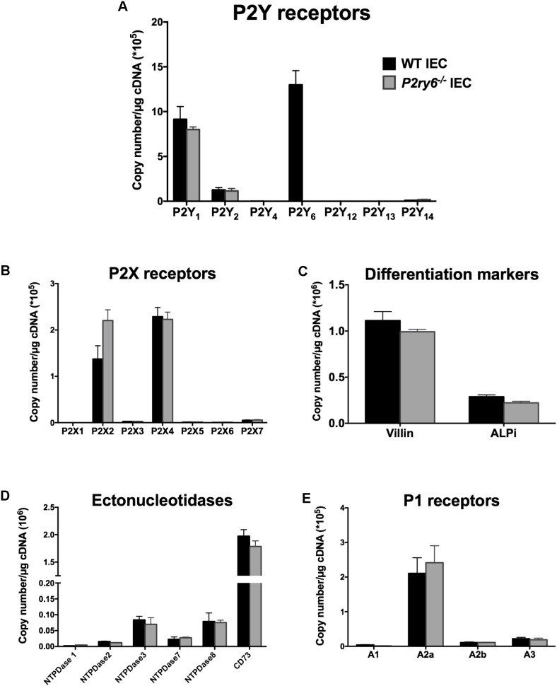 """Characterization of primary IEC cultures. IECs were prepared and cultured as mentioned in the section """"Materials and Methods"""" to obtain a monolayer of differentiated cells. RNA was isolated and the expression of P2Y receptors (A) , P2X receptors (B) , the differentiated epithelial cell markers villin and ALPi (C) , ectonucleotidases (D) , and P1 receptors (E) were analyzed by qRT-PCR. Data are normalized to GAPDH mRNA level. Data presented are the mean ± SEM of three independent experiments each with cells pooled from three mice."""