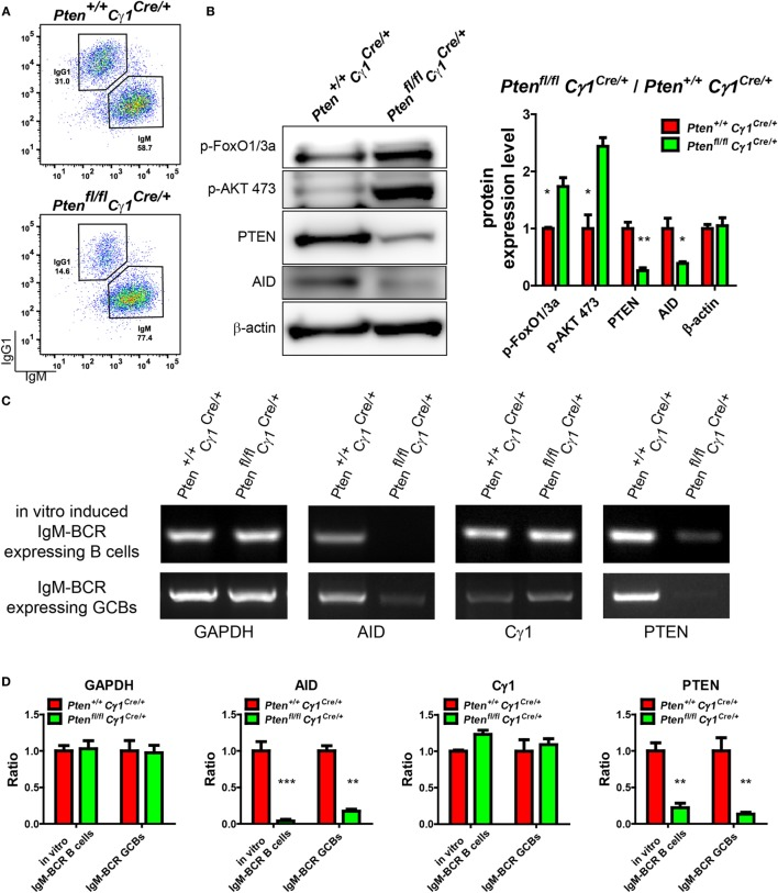 Repression of activation-induced cytidine deaminase (AID) induction in germinal center B cells (GCBs) from Pten fl/fl Cγ1 Cre/+ mice. (A) Flow cytometry sorting of in vitro induced IgM-BCR expressing splenic B cells from Pten +/+ Cγ1 Cre/+ and Pten fl/fl Cγ1 Cre/+ mice. Pure splenic B cells from control and KO mice (three mice for each group) were stimulated with LPS plus interleukin-4 (IL-4) for 4 days before sorting. (B) The expression levels of PTEN, p-AKT, p-FoxO1/3a, and AID were determined in Pten +/+ Cγ1 Cre/+ and Pten fl/fl Cγ1 Cre/+ IgM-BCR expressing B cells (left). Reduced PTEN, AID expression and enhanced p-AKT and p-FoxO1/3a expression were observed in Pten fl/fl Cγ1 Cre/+ IgM-BCR expressing B cells. The in vitro induced IgM-BCR expressing B cells were isolated by the FACSAria III Cell Sorter as described in (A) . Statistical comparison of protein expression level was also shown in right. Ratio values of different proteins from Pten fl/fl Cγ1 Cre/+ IgM-BCR expressing B cells were normalized to that of the Pten +/+ Cγ1 Cre/+ IgM-BCR expressing B cells. Data were given from one representative of at least three independent experiments. * p