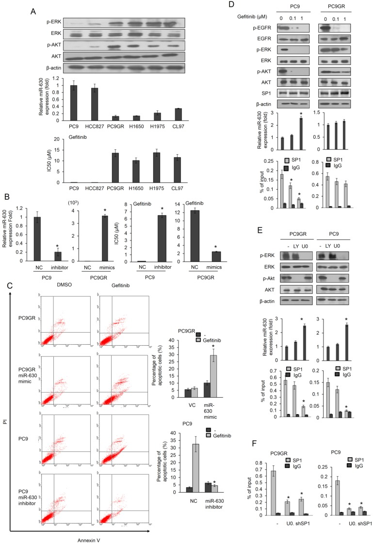 MiR-630 expression levels are associated with gefitinib resistance and upregulation of miR-630 expression by gefitinib may occur by decreased SP1 binding to the miR-630 promoter due to ERK inactivation in PC9 cells, but not in PC9GR cells. (A) Six lung adenocarcinoma cells were treated with four concentrations of gefitinib. After 24 h, the dose-response curves, determined by the MTT assay, were used to calculate the IC50 values of these cells. MiR-630 expression of these cells was evaluated by real-time PCR. The expression of p-AKT, total AKT, p-ERK, total ERK and β-actin was evaluated by western blotting. (B) MiR-630 inhibitors were transfected into PC9 cells. MiR-630 mimic was transfected into low miR-630 expressing PC9GR cells. After 24 h, the cells were treated with four concentrations of gefitinib to calculate the IC50 values. NC: nonspecific shRNA control. VC: Vector control. P value was calculated by the Student's t -test. The significant differences in experimental groups were compared to NC (*P