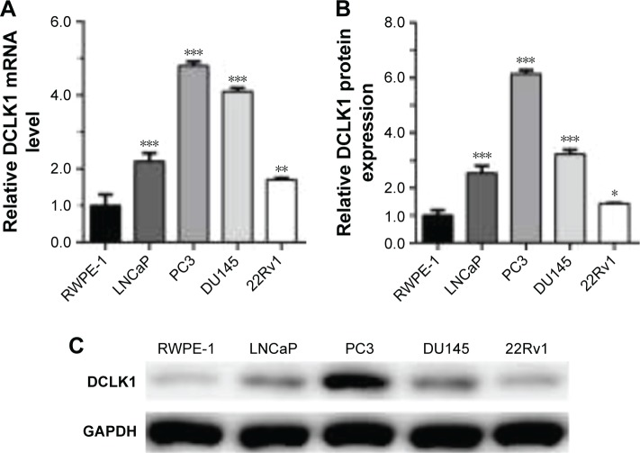 qRT-PCR and Western blot analysis of DCLK1 expression in PCa cell lines. Notes: ( A and B ) Relative DCLK1 mRNA and protein expression levels were markedly increased in PCa cell lines (LNCaP, PC3, DU145, and 22Rv1) compared with the normal epithelial cell RWPE-1. ( C ) Representative Western blot of DCLK1 protein in cell lines. Data are presented as the mean ± SD; * P