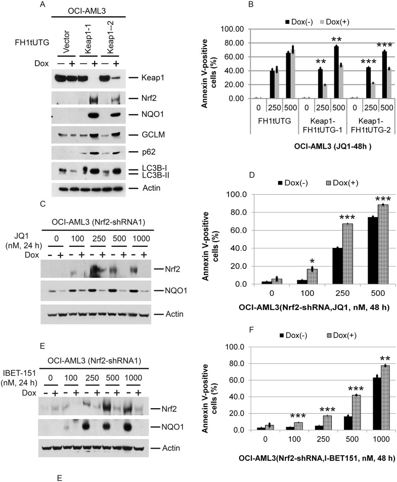 Effects of Keap1 depletion on p62 and LC3B; effects of Keap1 or Nrf2 depletion on Nrf2 NQO1, and apoptosis induced by Brd4 inhibition (A) Effect of Keap1 depletion by CRISPR-cas9 mediated genome editing on p62, LC3B, Nrf2, GCLC, GCLM, and NQO1 in OCI-AML3 cells. OCI-AML3 cells stably expressing inducible KEAP1 gRNA were treated with vehicle or doxycycline to induce genome editing of KEAP1 for six days, followed by Western blotting of the proteins shown. (B) Effects of CRISPR-cas9 mediated genome editing of KEAP1 on JQ1-induced apoptosis. OCI-AML3 cells stably expressing inducible KEAP1 gRNA were incubated with or without doxycycline for five days, followed by treatment with JQ1 at the indicated concentrations for 48 h and analysis of Annexin V positivity. Bar graphs represent the mean ± S.D. of biological triplicates. Asterisks ( ** ) and ( *** ) indicate p