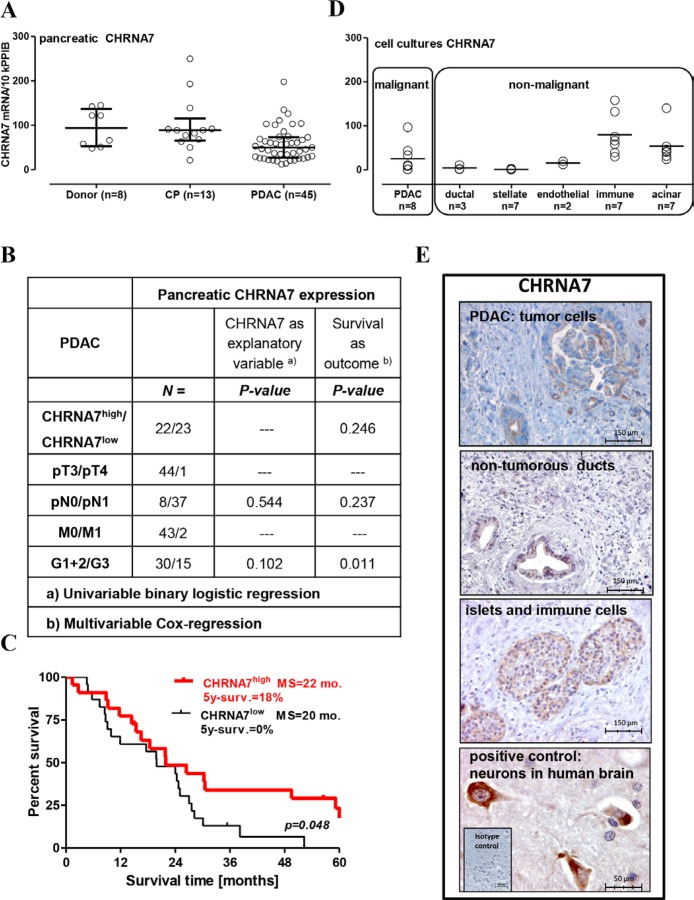 Preservation of CHRNA7 expression in the pancreas is associated with better prognosis for operable PDAC patients ( A ) CHRNA7 mRNA expression was determined by qRT-PCR in 66 pancreatic samples obtained from the organ donors and patients with chronic pancreatitis (CP) or pancreatic adenocarcinoma (PDAC). The groups were compared using the Kruskal-Wallis test ( p = 0.004) with Dunn's procedure, which established significant down-regulation of CHRNA7 in PDAC patients ( p