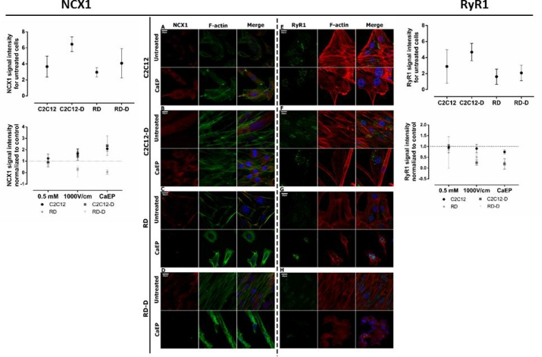 Immunofluorescent visualization of calcium/sodium exchanger (NCX1) and <t>ryanodine</t> receptor <t>(Ryr1)</t> in normal (C2C12, C2C12-D) and malignant (RD, RD-D) cells after exposition to CaEP protocol (electric field intensity: 1000 V/cm and 0.5 mM Ca 2+ ) The left panel: CLSM images present changes in NCX1 (red) intracellular localization and signal intensity between untreated and CaEP cell lines: C2C12 ( A ), C2C12-D ( B ), RD ( C ), RD-D ( D ). The graph shows signal intensity for untreated cell lines (above) and 3 therapy conditions (below): Ca 2+ incubation, EP only and CaEP normalized to untreated cells. The right panel: confocal images present changes in RyR1 (green) signal intensity between untreated and CaEP cell lines: C2C12 ( E ), C2C12-D ( F ), RD ( G ), RD-D ( H ). Both NCX1 and RyR1 protein colocalized with F-actin and cellular nucleus. The graphs NCX1 (left) and RyR1 (right) show a signal intensity for untreated cell lines (above) and 3 therapy conditions (below): Ca 2+ incubation (0.5 mM), EP only (1000 V/cm) and CaEP (0.5 mM; 1000 V/cm) normalized to untreated cells. Fluorescent signal was detected 24 h after CaEP application; 20 μm; n = 3–5. The signal intensity was analyzed by ImageJ software.