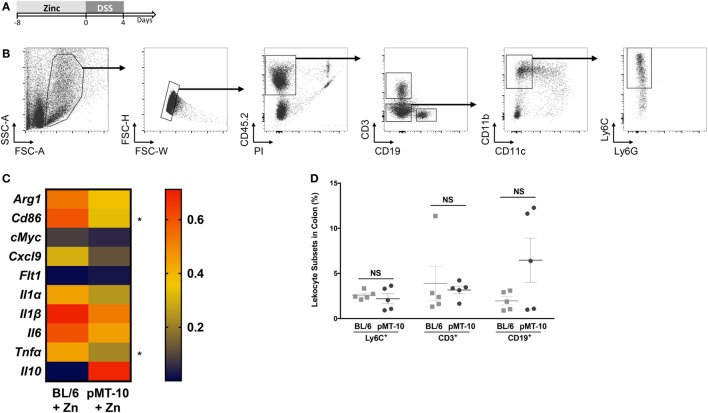 Ly6C + cells preexposed to interleukin (IL)-10 reveal a less inflammatory profile upon DSS-induced colitis than those preexposed to Zn. (A) pMT-10 or BL/6 mice were fed with Zn-enriched water for 8 days, followed by 4 days of 3% DSS administration. (B) At the end of the DSS treatment, Lamina propria leukocytes (LPLs) were isolated and Ly6C + cells sort-purified. Shown is the gating strategy for Ly6C + cells purification. (C) Sort-purified Ly6C + cells ( n = 25 cells) were analyzed by qRT-PCR for a total of 22 genes using the BioMark HD system. Samples were normalized for Hprt expression. Represented is the expression heatmap compiling the genes which expression was detected in either mouse group. Each heatmap rectangle represents the mean of gene expression obtained for cells isolated from five independent mice. (D) The frequency of the different leukocyte subsets was determined upon staining of LPLs for Ly6C + cell sorting. Each dot represents one independent animal; represented is also mean ± SEM. Data were analyzed with Student's t -test, * p