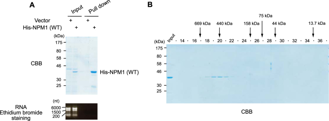 Purified recombinant NPM1 shows a similar elution profile to that of RNase A-treated cellular NPM1. ( A)  Bacterially expressed His-TEV-NPM1 was purified as described in experimental procedures. Purified proteins showed high purity and did not contain any RNA. ( B)  Elution profile of purified His-TEV-NPM1 proteins.
