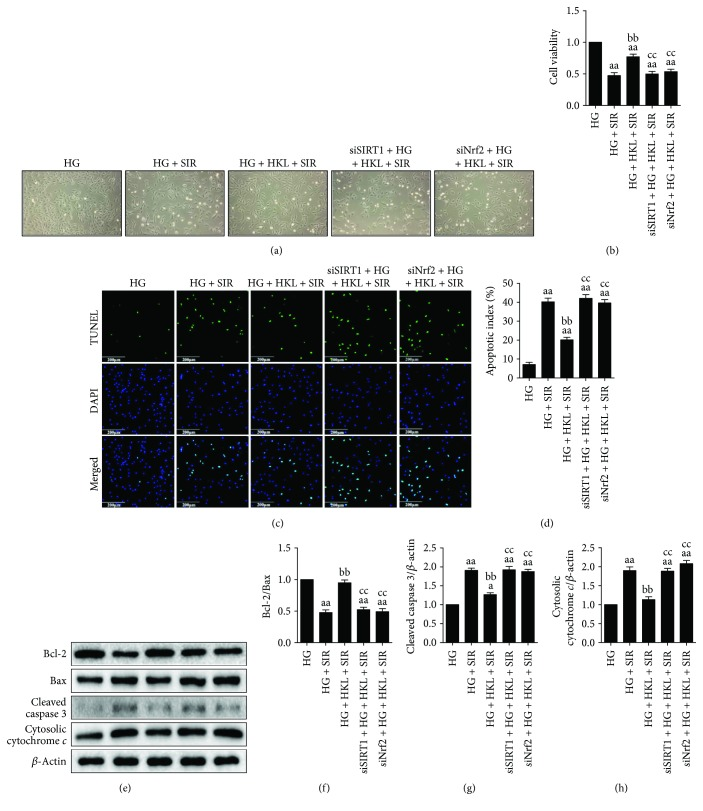SIRT1 siRNA and Nrf2 siRNA transfection blunted HKL-induced antiapoptotic effects against SIR injury in HG-treated H9c2 cells. (a) Cellular morphology (100x). (b) Cellular viability. (c) Representative images of TUNEL staining (200x, bar = 200 μ m). The apoptotic cells were detected by TUNEL (green), and the nuclei were detected by DAPI (blue). (d) Cellular apoptotic index. (e) Representative blots. (f) Bcl-2/Bax ratio. (g) Cleaved caspase 3 expression. (h) Cytosolic cytochrome c expression. Data are presented as the mean ± SEM ( n = 6 in each group). a/aa P