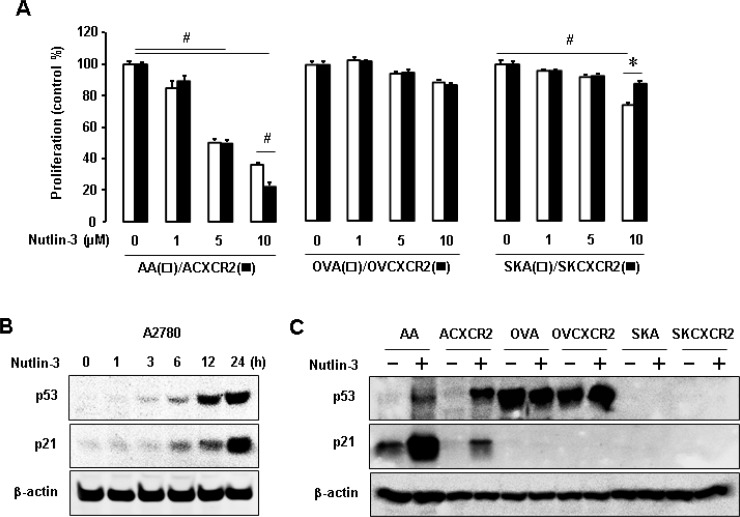 The p53-dependent effects of nutlin-3 on cell proliferation and p21 levels in p53WT, mutant and null cells ( A ) The p53-dependent effect of nutlin-3 on cell proliferation in CXCR2-negative vs. positive cells with different p53 status. All data are shown as mean ± SE from triplicated experiments. # and * indicate a significant decrease and increase ( p ≤ 0.05) by ANOVA and Student's t -test, respectively. ( B ) Time-dependent effect of nutlin-3 on p53 and its downstream p21 expression in p53WT A2780 cells. ( C ) Comparative induction of nutlin-3 on p53 and p21 protein levels in p53WT cells (AA/ACXCR2), p53-mutant (OVA/OVCXCR2) and p53-null (SKA/SKCXCR2) cells. β-actin was detected as an internal loading control of cell lysates. A representative result is shown from duplicated experiments.