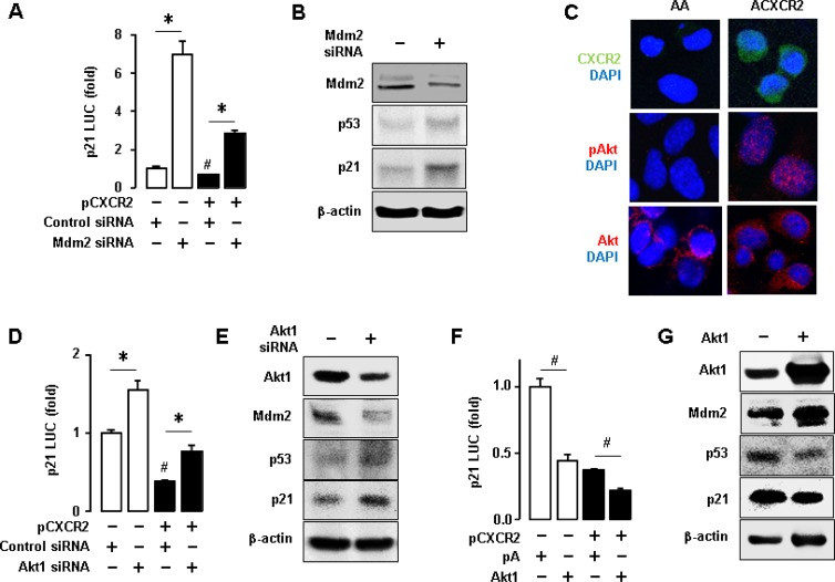 Inhibitory effects of CXCR2-derived Akt-Mdm2 axis on p53-dependent p21 protein expression in p53WT cells ( A ) Knockdown of Mdm2 increased p21 promoter activity and recovered the CXCR2-mediated downregulation of p21. ( B ) Confirmation of the knockdown of Mdm2 protein through western blot and the effect of knockdown of Mdm2 protein on p53-dependent p21 protein expression. ( C ) Comparison of Akt activation in AA and ACXCR2 cells by confocal imaging analysis. ( D ) Knockdown of Akt1 increased p21 luciferase activity and recovered the CXCR2-mediated downregulation of p21. ( E ) Confirmation of the knockdown of Akt1 through western blot and the effect of knockdown of Akt1 on Mdm2, p53 and p21 protein expression levels. ( F ) Overexpression of Akt1 decreased the p21 luciferase activity and further abated the CXCR2-mediated downregulation of p21. ( G ) Confirmation of the overexpression of Akt1 through western blotting and the effect of silencing Akt1 on Mdm2, p53 and p21 protein expression. β-actin was detected as an internal loading control of cell lysates. All data are shown as mean ± SE from triplicated experiments (A, D, F) and a representative result is shown from duplicated experiments (B, C, E, G). * and # indicate a significant increase and decrease ( p ≤ 0.05), respectively, by Student's t -test.
