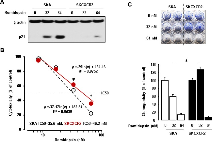 Resistant effects of CXCR2 on the anti-tumor potential of romidepsin in p53-null cells ( A ) Inhibitory effects of CXCR2 on romidepsin-induced p21 protein in SKA and SKCXCR2cells. Cells were treated with romidepsin (0, 32 and 64 nM) for 24 h. β-actin was detected as an internal loading control of cell lysates. A representative result is shown from duplicated experiments. ( B ) IC50 of romidepsin in SKA and SKCXCR2 cells. Cells were treated with 10–100 nM romidepsin for 48 h and then cell proliferation assay was performed. All data are shown as mean ± SE from triplicated experiments. * indicates a significant increase ( p ≤ 0.05) by Student's t -test. ( C ) Clonogenic survival assay in SKA and SKCXCR2 after treatment of romidepsin (0, 32 and 64 nM) for 48 h. * ( p ≤ 0.05) in each group by ANOVA and Tukey's pairwise comparisons. All data are shown as mean ± SE from triplicated experiments. Each SE is located within circles.