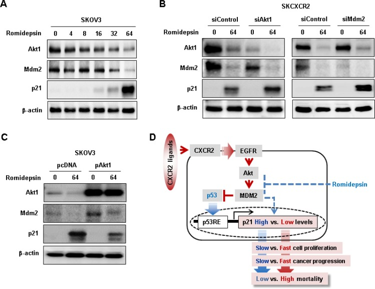 Negative effects of CXCR2 on romidepsin-induced <t>p21</t> protein expression via Akt-Mdm2 axis in a p53-independent manner ( A ) Dose-dependent effects of romidepsin on Akt, Mdm2 and p21 protein expression in p53 null SKOV-3 cells. Cells was treated with 0, 4, 8, 16, 32 and 64 nM romidepsin for 24 h. ( B ) Effects of silencing Akt1 and MDM2 on romidepsin-induced p21 protein expression in SKCXCR2 cells. ( C ) Effects of overexpressed Akt1 on romidepsin-induced p21 protein expression in SKOV-3 cells. β-actin was detected as an internal loading control of cell lysates. Cells was treated with 64 nM romidepsin for 24 h. ( D ) Schematic representation of molecular mechanism of CXCR2-mediated Akt-Mdm2 axis on cell cycle inhibitor p21 regulation in p53-dependent and independent manner in ovarian cancer cells. A representative result is shown from duplicated experiments.