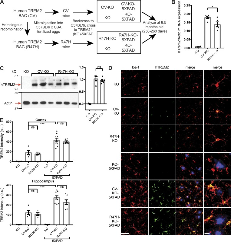 hTREM2 is expressed at comparable levels in microglia of CV and R47H transgenic mice. (A) Diagram showing generation of 5XFAD and non-5XFAD humanized TREM2 mice. (B) hTREM2 mRNA expression in KO, CV-KO, and R47H-KO whole cortical tissue. (C) Immunoblot of hTREM2 and actin in the PBS-insoluble fraction of hippocampal tissue homogenates shows similar relative hTREM2 protein abundance between CV-KO and R47H-KO by densitometric analysis normalized to actin. (D) Confocal microscopy of cortex of CV-KO, R47H-KO, or KO 5XFAD or non-5XFAD mice shows colocalization of hTREM2 C terminus (green) and microglial marker Iba-1 (red); methoxy-X04 staining for plaques is shown in blue. Bars, 50 µm for first three columns, 10 µm for last column. (E) Quantification of staining intensity of hTREM2 in the cortex and hippocampus. Staining intensity is similar between CV and R47H and increased in 5XFAD compared with non-5XFAD. *, P