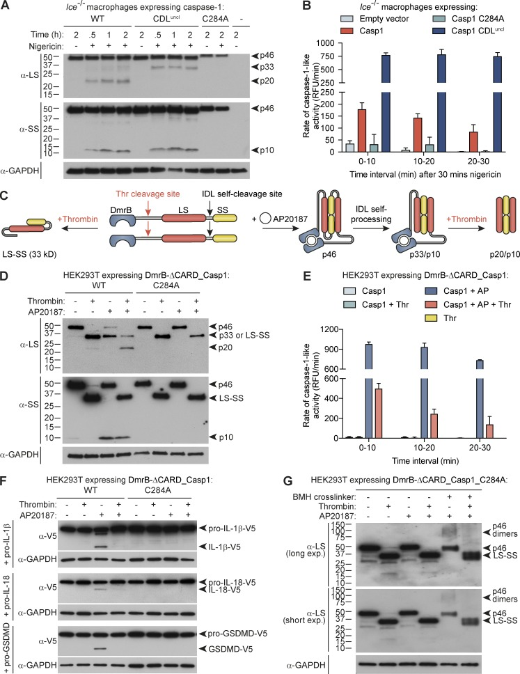 Caspase-1 processing at the CDL destabilizes caspase-1 dimers and terminates protease activity. Bone marrow progenitors from Ice −/− ( Casp1 −/− /Casp11 null/null ) mice were retrovirally reconstituted for mouse caspase-1 (WT, C284 catalytic mutant, or CDL-uncleavable mutant) during their differentiation to macrophages. (A) Differentiated macrophages were then left untreated or LPS-treated for 6 h, or were LPS-primed for 4 h before stimulation with nigericin for 0.5, 1, or 2 h. Cell extracts and cell-free supernatants were mixed and analyzed by immunoblot. (B) Differentiated, transduced macrophages were LPS-primed for 4 h, before stimulation with nigericin for 30 min. Cell culture medium was then replaced with caspase assay buffer containing the caspase-1 fluorogenic substrate, YVAD-afc, and caspase-1–like activity was monitored over the next 30 min. (C) An engineered caspase-1 system allowed controlled caspase-1 dimerization by AP20187 (AP) and CDL cleavage by thrombin (thr). 1 µM AP20187 was added to HEK293T-expressing caspase-1 constructs (WT vs. catalytic mutant, C284A) for 10 min. Cell culture medium was replaced for caspase activity buffer supplemented with digitonin to lyse cells for activity assays (± 20 U/ml thrombin). (D) Immunoblot analysis of caspase-1 cleavage by thrombin after incubation for 1 h. (E) Caspase activity assay, in which thrombin was added to cell lysates at the same time as the YVAD-afc fluorogenic substrate. (F) Cleavage assay in which thrombin was added to caspase-1–expressing cell lysates at the same time as natural substrates (lysates from HEK293T ectopically expressing V5-tagged substrates) and incubated for 0.5 h. (G) Thrombin was added to caspase-1_C284A–expressing cell lysates and incubated for 1 h. Bismaleimidohexane was then added to lysates for 1 h to cross-link caspase-1 dimers. Graphs are mean + SD of triplicate wells from a single experiment. All data are representative of at least two (G) or three (A–F) independent experiments.