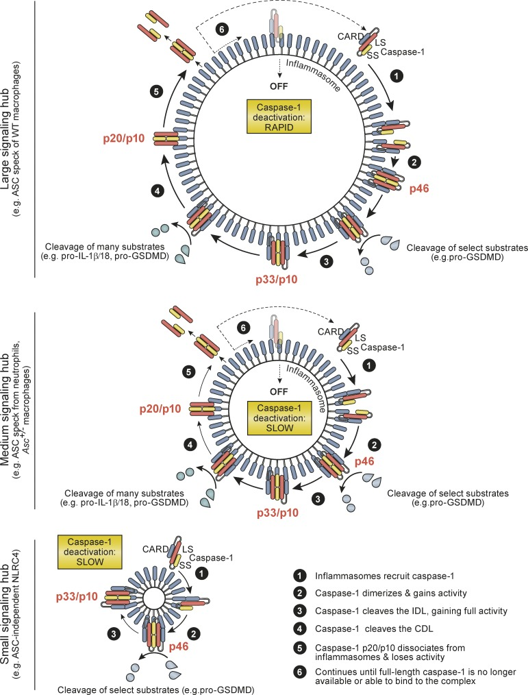 Summary model for mechanisms by which inflammasomes direct the active caspase-1 species and duration of caspase-1 activity. See Discussion for details.