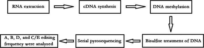 Outline of the procedure for measuring Htr2c RNA editing. Total RNA was extracted from the homogenized amygdala of the mice brain using the TRI zol method. Both RNA extraction and c DNA synthesis were performed using PrimeScript Hi‐Fide RT ‐ RCR Kit. Then, the prepared <t>cDNA</t> samples ( n = 5 c DNA samples/group) were methylated by bisulfite treatment using <t>Bisul‐Methylation</t> Universal Kit. Then, PCR amplification of Htr2c was performed, with the used primers designed by PyroMark Assay Design 2.0 and synthesized by Hua Da Gene Company, as shown in Table 1 . Subsequently, serial pyrosequencing measures were performed with the substrate mixture, enzyme mixture, and four types of d NTP added in the reaction system. Finally, pyrosequencing detector and Pyro Q‐CpG software were used to measure the frequency for A, B, D, and C/E editing sites