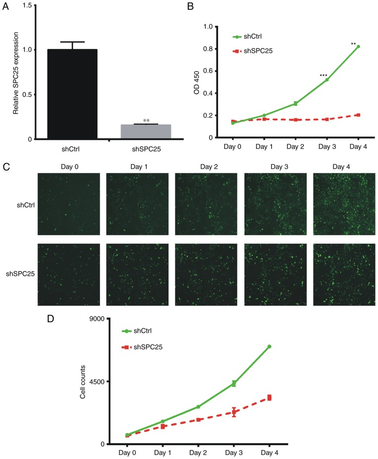 SPC25 knockdown inhibits the proliferation of PC-3 cells. (A) Expression of SPC25 mRNA following transfection with the indicated shRNAs in PC-3 cells. (B) An MTT assay demonstrated that knockdown of SPC25 inhibited cell proliferation in PC-3 cells. (C) The Celigo ® system revealed that knockdown of SPC25 inhibited cell proliferation in PC-3 cells. (D) Cell number of shCtrl or shSPC25 group in each day was calculated using the Celigo ® system. P