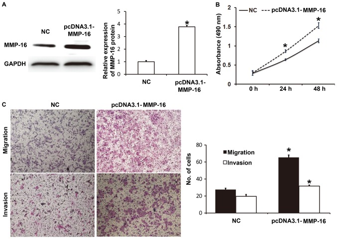 Effect of MMP-16 on the biological functions of A549 cells. (A) Expression of MMP-16 protein in A549 cells transfected with NC or pcDNA3.1-MMP-16 plasmids. Western blotting was used to determine protein expression. (B) Proliferation of A549 cells transfected with NC or pcDNA3.1-MMP-16 plasmids. A Cell Counting Kit-8 assay was used to measure the absorbance (490 nm) of the cells at 0, 24 and 48 h. A cell proliferation curve was plotted. (C) Migration and invasion of A549 cells transfected with NC or pcDNA3.1-MMP-16 plasmids. Migratory and invasive abilities of the cells were determined using Transwell assays. Magnification, ×100. *P