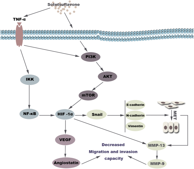 Diagram of the proposed mechanism by which sotetsuflavone inhibits non-small-cell lung cancer A549 cell invasion and metastasis. Sotetsuflavone inhibited the invasion and metastasis of A549 cells by inhibiting EMT and angiogenesis. The anti-transfer effect of sotetsuflavone was mainly through downregulation of <t>HIF-1α</t> by the inhibition of PI3K/AKT and TNF-α/NF-κB signaling pathway in A549 cells, adjusting the whole process