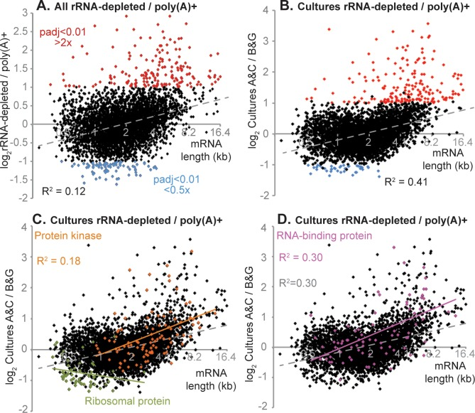 Poly(A) selection and rRNA depletion: effect of mRNA length. Different datasets were compared using DeSeq2 ( S2 Table Sheet 1). The ratios of rRNA-depleted divided by poly(A)+ are shown on the y axis, and the mRNA length on the x-axis. Log-transformed values were used for the graphs and the regression analysis, but for clarity, the mRNA length axis has been labelled with the non log-transformed values. A. Results for all pooled datasets. Differences in RNA abundance were classed as significant if the adjusted p-value was less than 0.01, and the magnitude of the difference was at least 2-fold [ 64 ]. Correlation coefficients were calculated by Microsoft Excel. B. Results for selected cultures (the ones with values for most full genes). C. As (B), but with mRNAs encoding protein kinases in orange and mRNAs encoding ribosomal proteins in green. D. As (B), but with mRNAs encoding RNA-binding proteins in pink.