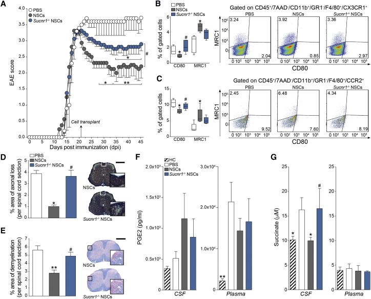 Transplantation of Sucnr1 Loss-of-Function NSCs Shows Impaired Ability to Ameliorate Chronic Neuroinflammation In Vivo (A) Behavioral outcome of EAE mice. Data are mean EAE score (±SEM) from n ≥ 5 mice/group. (B and C) Flow-cytometry-based ex vivo quantification of the expression levels of type 1 inflammatory (CD80) and anti-inflammatory (MRC1) markers in CX3CR1 + microglial cells (B) and CCR2 + monocyte-derived infiltrating macrophages (C) at 30 dpt. Quantitative data are shown on the left, whereas representative density plots are shown on the right. Data are min to max % of marker-positive cells from n ≥ 4 pools of mice/group. (D and E) Pathological outcomes of experiments as in (A). Data are mean % Bielschowsky negative-stained axonal loss (D) or LFB negative-stained demyelinated (E) areas/spinal cord section (±SEM) from n ≥ 4 mice/group. The scale bars represent 400 μm. (F) PGE2 levels in the CSF and plasma of EAE mice at 30 dpt. Data are mean values (±SEM) from n ≥ 3 samples/group. (G) Succinate levels in the CSF and plasma of EAE mice at 30 dpt. Data are mean values (±SEM) from n ≥ 4 mice/group. Kruskal-Wallis followed by Mann-Whitney post-test is shown. ∗ p ≤ 0.05, ∗∗ p ≤ 0.01, and ∗∗∗ p ≤ 0.001 versus PBS; # p ≤ 0.05 versus NSCs. See also Figure S6 .