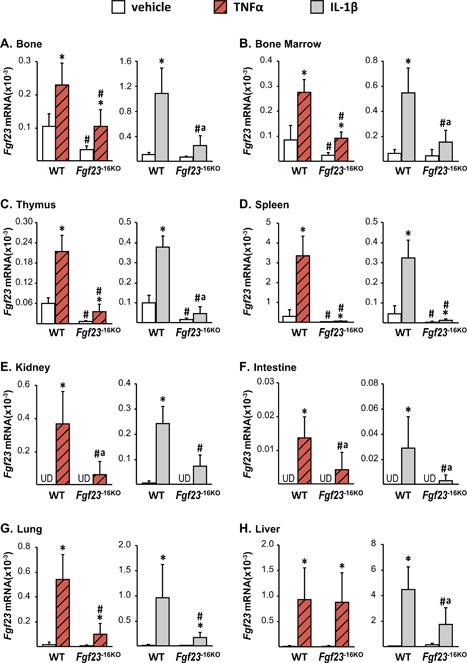 Lack of the −16kb enhancer of Fgf23 blunts the Tnfα‐ and <t>IL‐1β‐induced</t> increase in Fgf23 levels. Eight‐week‐old wild‐type (WT) and Fgf23 −16KO female mice were injected with 2 μg of recombinant Tnfα or vehicle, while their male littermates were injected with 50 ng/g of IL‐1β or PBS. The tissues were collected 3 hours after TNFα and 6 hours after IL‐1β injection. The Fgf23 mRNA levels were measured by RT‐PCR and represented here as the mean ± SD ( n = 5 to 9 mice/group). Statistical comparisons were performed using two‐way ANOVA with multiple comparison test using the Benjamini‐Hochberg procedure. * p