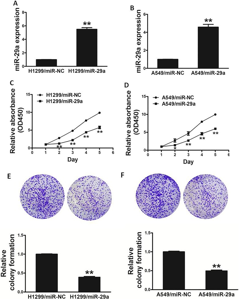 Overexpression of miR-29a inhibits the ability of cell proliferation and colony formation in lung cancer cells. A and B, Relative expression levels of miR-29a in H1299/miR-29a, H1299/miR-NC, A549/miR-29a, and A549/miR-NC stable cell lines were confirmed by quantitative RT-PCR. C and D, Overexpression of miR-29a arrested cell proliferation in H1299 and A549 cells. E and F, MiR-29a overexpression reduced colony formation in H1299 and A549 cells. Data represent mean ± SD of 3 replicates. *Significant difference at P