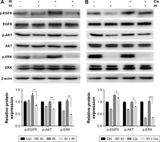 Icotinib hydrochloride inhibits EGFR signaling pathway in Hela S3 cells. Notes: Total EGFR, p-EGFR, total AKT, p-AKT, total ERK and p-ERK were detected using Western blot assays in Hela S3 cells 2 hours after combination treatment of radiation ( A ) or cisplatin ( B ) with IH (top). Histograms indicate the relative protein expression levels in the cells by grayscale analysis (bottom). Error bars, SD. * P