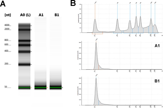"""Presence of miRNA in healthy human crevicular fluid. """"gel-like"""" images of R6K ScreenTape (A) after subjected to <t>Tapestation</t> <t>bioanalyzer</t> showed RNA ladder (L) on left lane and only small-sized RNA present in the sample lanes (middle and right lane). The positive bands approximately 50 nucleotides (nt) were present in representative GCF samples (A1 and B1). Electropherogram (B) corresponding to the gel-like images on the (A) figure. The x -axis on the electropherogram represents RNA size (nt), while the y -axis represents the measurement response of fluorescence units (FUs)."""