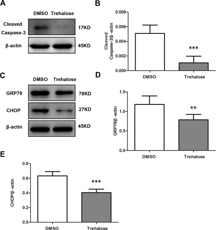 Effect of trehalose on apoptosis and ERS in cryopreserved valve cells. (A and B) Western blotting using a cleaved caspase-3 antibody on cryopreserved valve cells treated with trehalose (0.1 mol/L) or DMSO for 16 weeks. (C, D and E) Western blotting using GRP78 and CHOP antibodies on cryopreserved valves treated with trehalose (0.1 mol/L) for 16 weeks. Data are expressed as the mean ± SD ( n = 20 per group). ** P