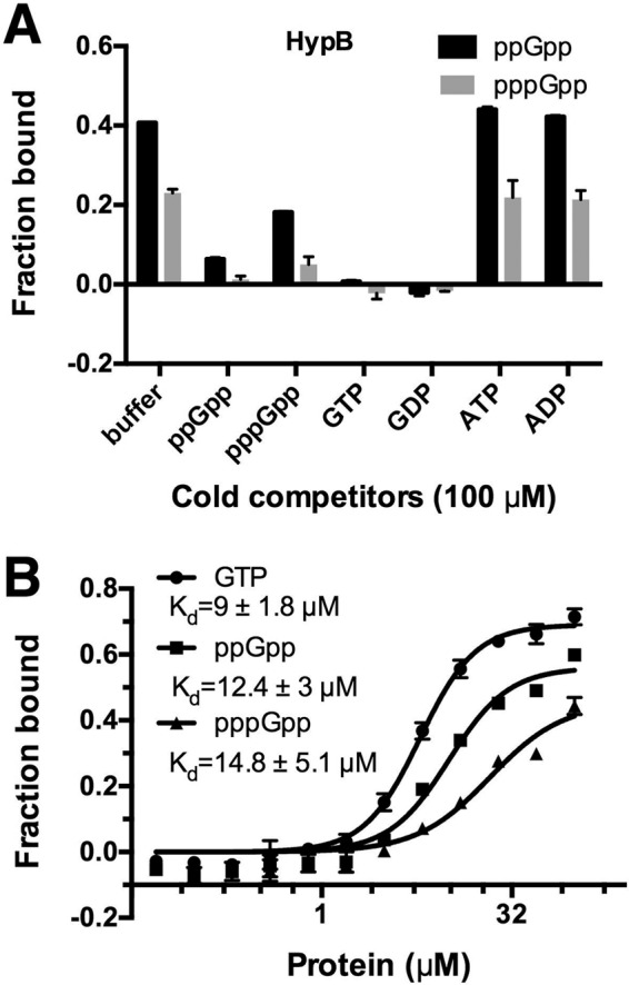 HypB specifically binds (p)ppGpp with physiological affinity. (A) Competition assay of HypB (20 μM) binding α- 32 P-labeled ppGpp and pppGpp (2 nM [each]) in the presence of cold competitors (100 μM). (B) Binding curves and K d determination for HypB binding α- 32 P-labeled ppGpp, pppGpp, and GTP (2 nM [each]). Three replicates were performed, and the apparent K d values are indicated.