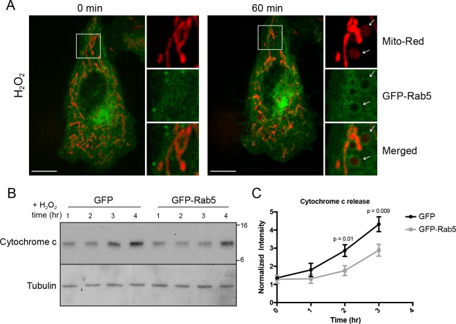 Rab5 regulates <t>cytochrome</t> c release during H 2 O 2 -induced stress. ( A ) Live-cell imaging of a BAC GFP-Rab5 cell stained with 100 nM Mito-Red before (0 min) and after treatment (60 min) with 250 μM H 2 O 2 at 37°C. Inset images are shown and arrowheads indicate GFP-Rab5 recruitment to MOMP events (right panel). Scale bars, 10 μm. ( B ) HeLa cells over-expressing either GFP or GFP-Rab5 were treated with 250 μM H 2 O 2 at 37°C for 1 to 4 hr. Protein samples from cytosolic fractions were obtained and immunoblotted for cytochrome c and tubulin (as a loading control). ( C ) Densitometric quantification of cytochrome c release in ( B ). Data were collected from three independent experiments. Y-axis corresponds to the normalized ratio intensity of cytochrome c to the tubulin loading control. p-Values based on two-tailed t-tests. 10.7554/eLife.32282.034 Numerical data corresponding to the line traces presented in Figure 7C .