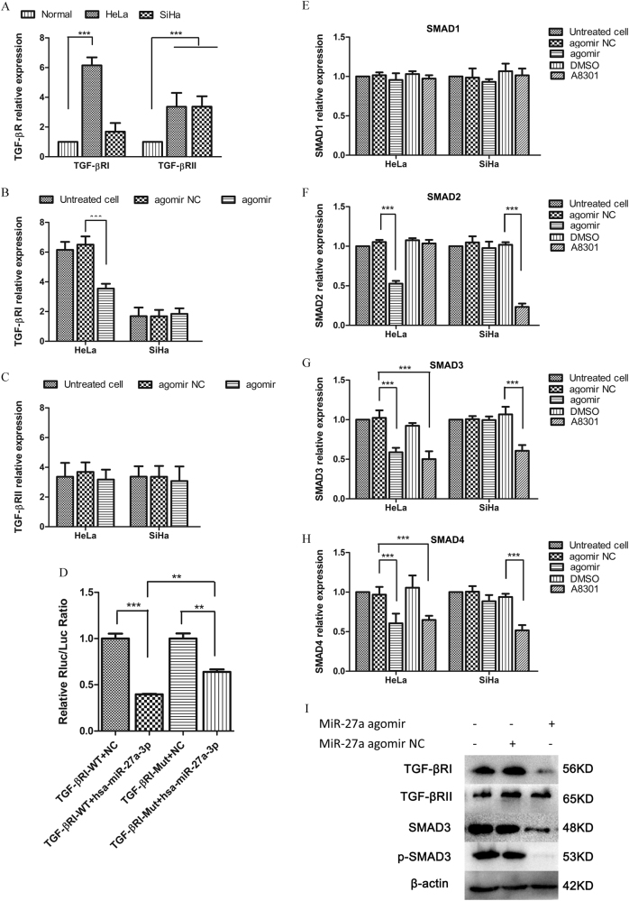 miR-27a directly targets <t>TGF-βRI</t> and represses the TGF-β signaling. a qRT-PCR analysis of TGF-βRI and TGF-βRII expression in cervical cancer cell lines versus normal cervical epithelia. b qRT-PCR. TGF-βRI expression was downregulated by miR-27a agomir in HeLa, but not in SiHa. c qRT-PCR. TGF-βRII levels in three cervical cancer cell lines were not affected by agomir transfection. d Results of double-luciferase reporter assays show the luciferase activity of the wild type TGF-βRI 3′-UTR (TGF-βRI-WT) and the mutant one (TGF-βRI-Mut) in the absence or presence of hsp-miR-27a-3p mimics. e – h qRT-PCR. Expression levels of TGF-βRI, SMAD2, SMAD3, and SMAD4 in cervical cancer cells that were transfected with agomir NC or miR-27a agomir. i Western blot. TGF-βRI, SMAD3, and p-SMAD3 were downregulated by miR-27a agomir transfection. ** P