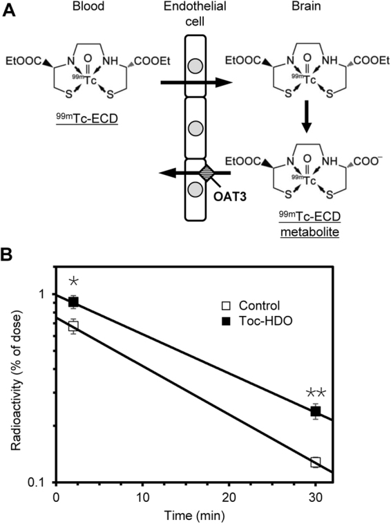 Retention of an OAT3 substrate in the brain after intravenous administration of Toc-HDO. ( A ) Schematic representation of the transport of 99m Tc-ECD and its metabolite in the brain. (B ) Radioactivity of the 99m Tc-ECD metabolite in the brain measured 2 or 30 min after an intravenous injection of 99m Tc-ECD into mice that were injected 72 h earlier with PBS (open squares) or 13-mer Toc-HDO (No. 18) at a dose corresponding to 50 mg/kg of ASO (closed squares). Data are expressed as mean values ± s.e.m. ( N = 5, * P